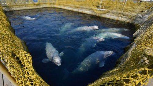 """The """"whale jail"""" is holding 100 animals captive."""