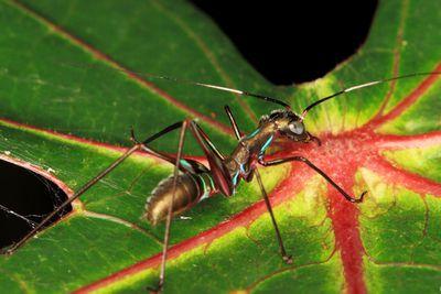 <p>Katydid (Tettigoniidae)</p>