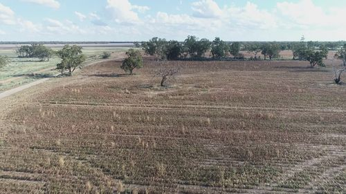 A mouse plague is wiping out crops across NSW's central west.