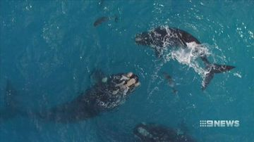 Aussie scientists monitor whale health with drones