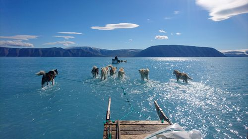 Viral photo of huskies walking on water shows reality of Arctic ice melt