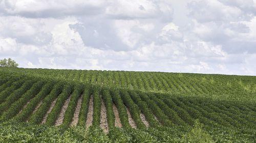 Soybean plants in a field near Bennington.