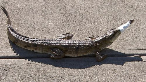 It's not yet known who the crocodile belongs to. (9NEWS)