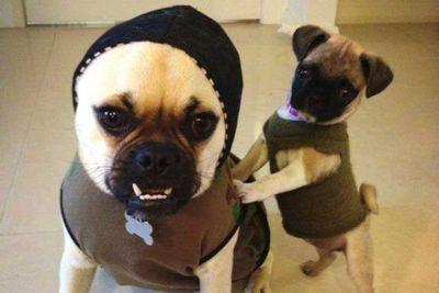 Joni's army style pugs!