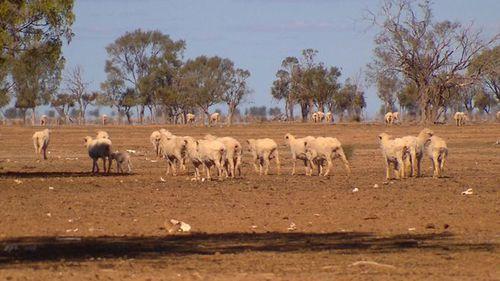 The drought-ravaged sheep on the Jones's NSW farm.