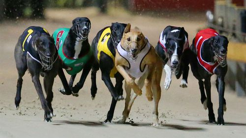 Labor urges MPs to oppose NSW government's greyhound ban