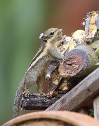 <strong>#6 Himalayan striped squirrel</strong>