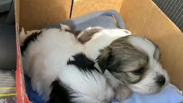 The four-week-old Maltese Shitzus are recovering with their mother after allegedly being stolen earlier this month.