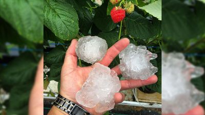 Large hailstones fell in Corindi. Here, stones are pictured with a raspberry for scale. (Instagram: t.schofield)