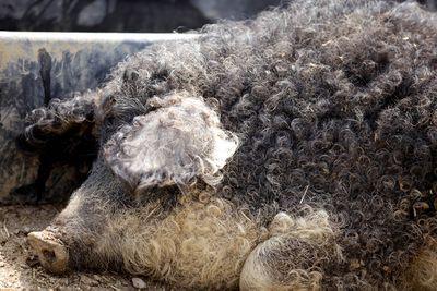 Mangalica sheep pig