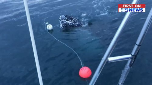 A buoy was attached to the rope to help track the whale.