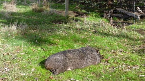 A female wombat was also found dead near her burrow. (Supplied)