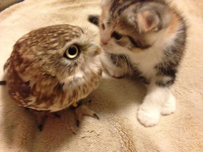 A friendships go, this has got to be particularly unlikely pairing – but a Japanese owlet and a kitten, who are both residents of a kitschy Japanese café, have broken all the cuteness records. (Twitter/Hukulou Coffee)