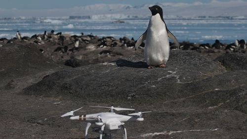 An Adélie penguin and Quadcopter on Brash Island. (Stony Brook University, Louisiana State University, Courtesy Rachael Herman.)