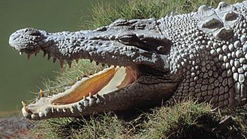Saltwater crocodile (Getty)
