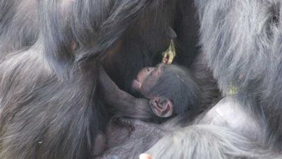 Welcome, chimp baby!