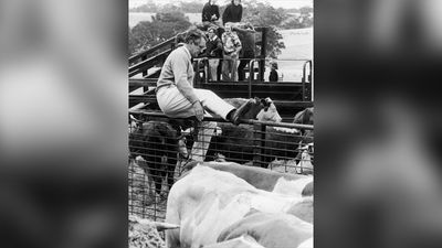 The nation went to an election in 1975. Shortly after it was called, a letter bomb directed to Fraser was intercepted and defused.  Fraser at an auction where he is selling some of his Hereford and Simmental breeding stock, 17th February 1978. (Getty Images)