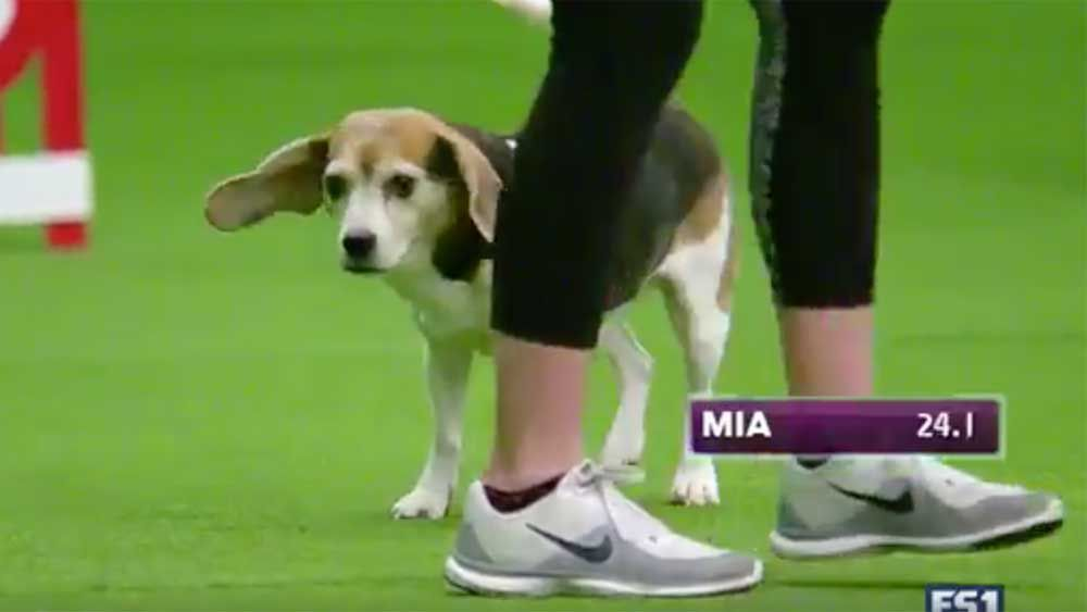 Cute, distracted beagle wins over crowd at Westminster Dog Show