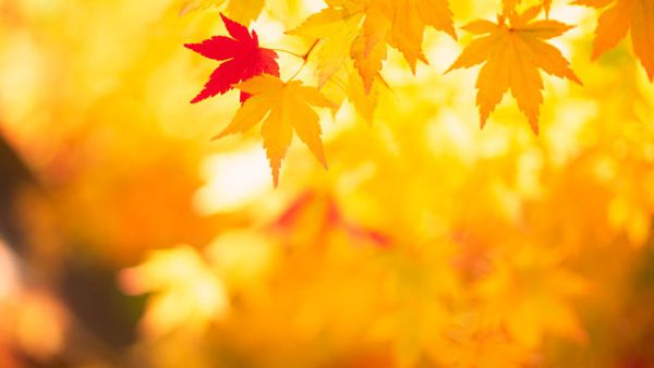 Blaze of glory: how to choose the right autumn tree for your garden