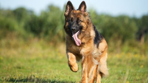 Bloat, or GDV, occurs most commonly in larger dog breeds- including German Shepherds.