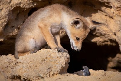 """""""Tough Negotiations"""" between a fox and it's prey, Israel"""