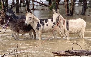 Cows and donkeys rescued from NSW floodwaters