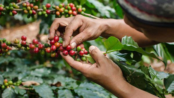 Farmer selecting coffee cherries from Nespresso AAA Sustainable Quality coffee farm