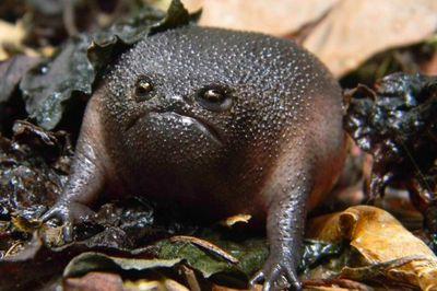 <strong>Black rain frog</strong>