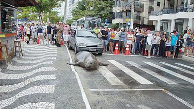 A sea lion blocking off a street in Brazil is just one of many animals which turn up in unusual places.