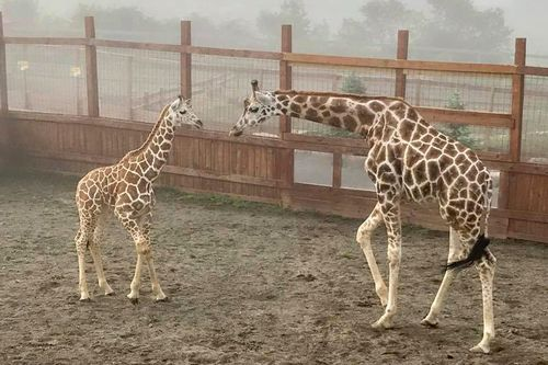 The giraffe – which had a two month old calf with her – is thought to have attacked the mother and her son because it felt threatened when they surprised her.