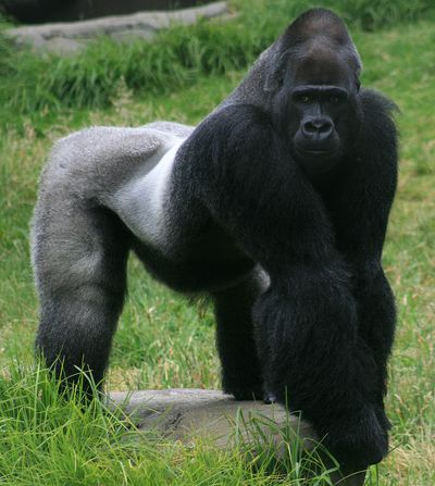 <strong>Gorillas with gains</strong>