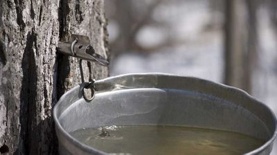 Maple water: Worth the hype?