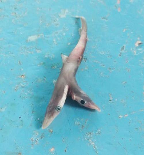 The little shark measured just 15 centimetres.