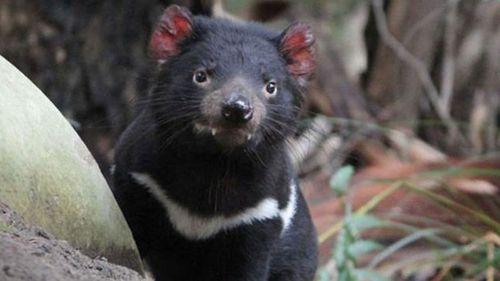 Tasmanian devil nominated for island state emblem