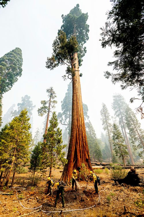 Giant sequoias are adapted to fire, which can help them thrive by releasing seeds from their cones and creating clearings that allow young sequoias to grow. But the extraordinary intensity of fires — fuelled by climate change — can overwhelm the trees