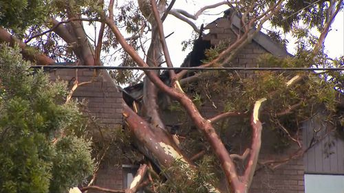A gum tree smashed into a Beaumaris block as a result of the winds.