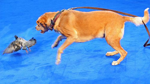 Woody entertained the crowd, chasing frightened pigeons down the blue carpet. (Getty)
