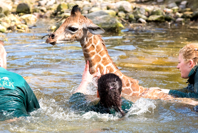 Giraffes don't swim... but they could