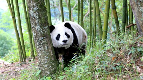 """""""When she's in an amorous mood, we let her out of the enclosure, hoping that she will mate with wild pandas."""" Picture: AP"""