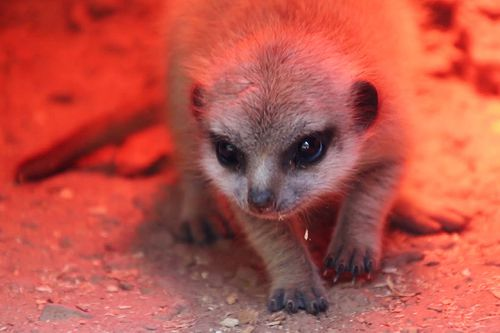 The meerkitten was allegedly stolen from Perth Zoo on September 19.