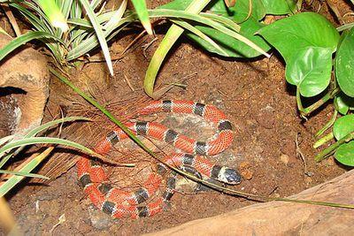 <p>Red coral snake (Micrurus tener)</p>