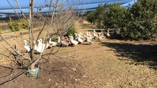 Top 40 Orchard's geese in one of the stricken orchards.