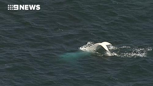 The 9NEWS chopper showed the whale splashing its tail. (9NEWS)