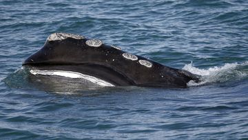 A North Atlantic right whale feeds on the surface of Cape Cod bay off the coast of Massachusetts. (AP Photo/Michael Dwyer, File)