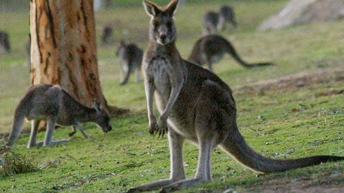 Second Victorian man sentenced to community service over 'sickening' kangaroo bashing and shooting