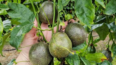 Passionfruit vines produce fruit all year in some parts of Australia, with a summer flush and a winter flush