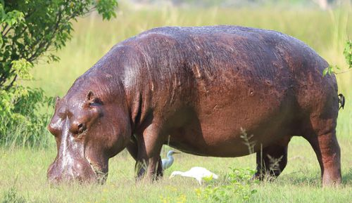 Hippos are among the world's most dangerous animals.