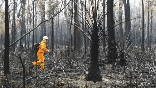 A volunteer searches burnt bushland south of Port Macquarie for injured koalas and wildlife.