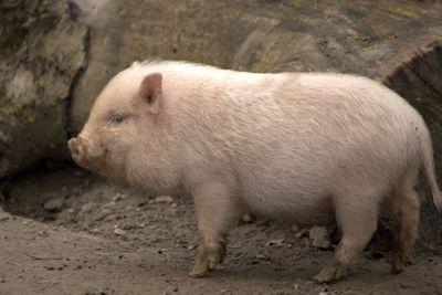 <p>Mini pig</p>