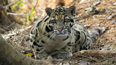 Spotted: Leopard we thought was extinct - nine com au